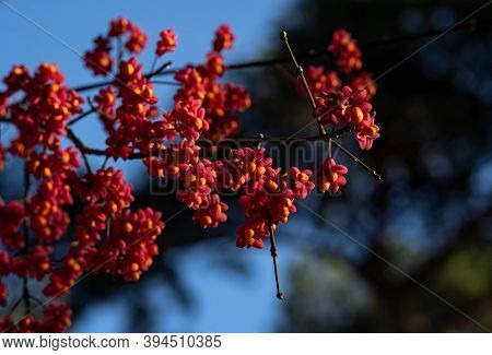 Spindle Tree Pink And Orange Fruits On Bald Branches