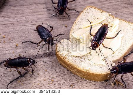 Many Cockroaches Feeding On Scraps Of Food On The Table, The American Periplaneta. Cockroach Infesta