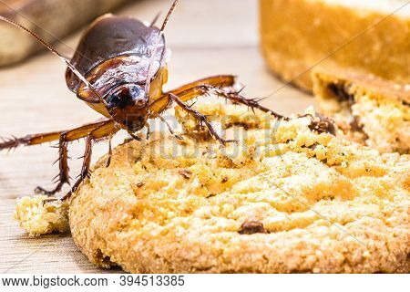 Common Cockroach, Red And Black, Feeds On Scraps Of Food On Table, American Periplaneta. Insect Prob