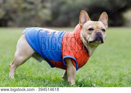 Mountain View, California - November 11, 2020:  Young Male French Bulldog Dressed Up As Spider-man