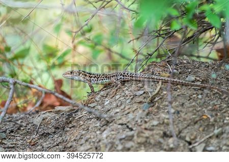 The Balkan Wall Lizard, Lat. Podarcis Tauricus, Standing On Ground With Green Background, Full Lengt