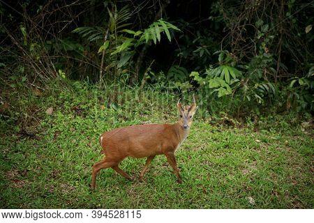 Barking Deer In Khao Yai National Park Thailand