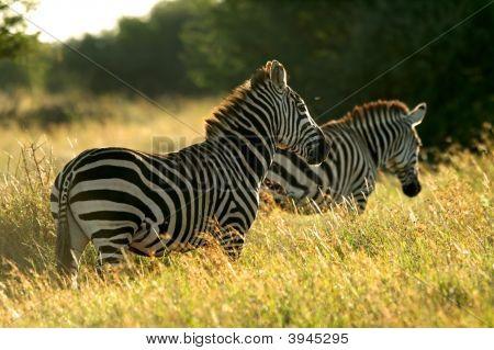 Img_3044Asplains Zebra