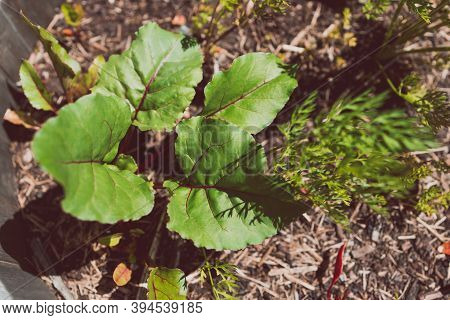 Beetroot Plants In Wooden Barrel Planter Outdoor In Sunny Vegetable Garden