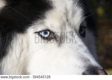 Siberian Husky Dog Close-up Portrait With Blue Eye Looks To Right. Husky Dog Has Black And White Coa