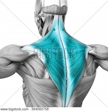 3d Illustration Concept Of Human Muscular System Torso Muscles Trapezius Muscle Anatomy