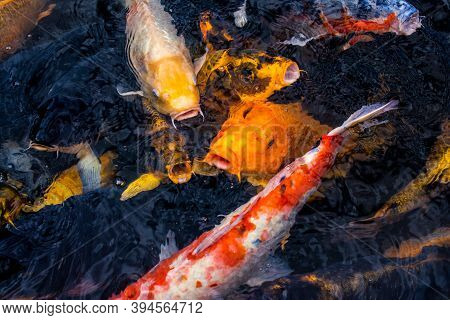 Multicoloured Koi Carp, Hungry Around Feeding Time. Spotted In Japan.