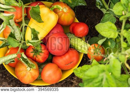 Harvesting On The Farm - A Bowl With Tomatoes, Cucumbers And Peppers, Collected In The Vegetable Gar