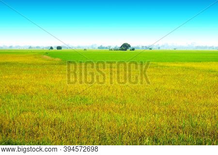 Beautiful Agriculture Jasmine Rice Farm And Soft Fog In The Morning Blue Sky White Cloud