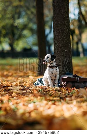 Puppy Of Dalmatian Dog Sits On The Coverlet Near Trunk Tree And Bag While Walking In Autumn Park.