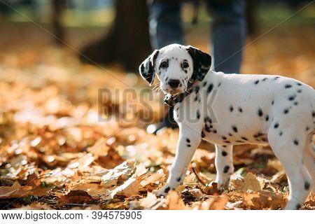 Puppy Of Dalmatian Dog Runs On Fallen Yellow Foliage While Walking In Autumn Park.
