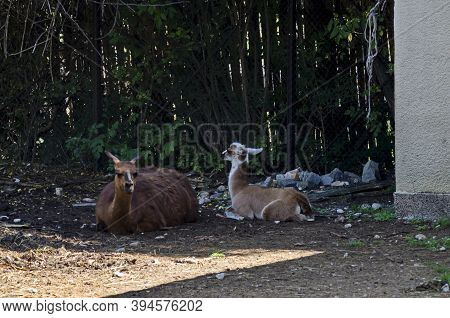 A Brown Llama Rests With His Child In The Farmyard, Sofia, Bulgaria