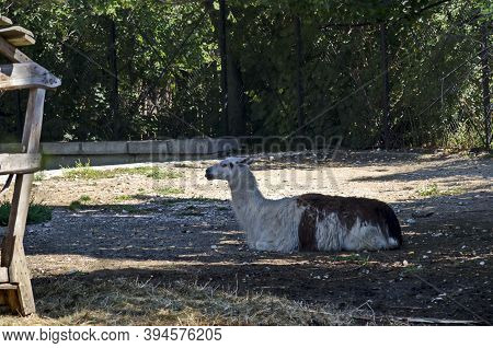 A Llama With A Pattern Of Brown And White Fur Rests In The Farmyard, Sofia, Bulgaria