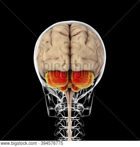 Human Brain With Highlighted Cerebellum Inside The Skull, Back View, 3d Illustration. It Plays An Im
