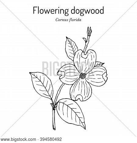 Flowering Dogwood Cornus Florida , State Flower Of North Carolina. Hand Drawn Botanical Vector Illus