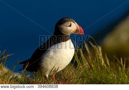 cute puffin standing on cliff in natural habitat (fratercula arctica)