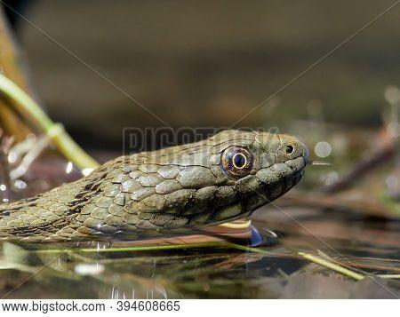 dice snake in the water (Natrix tessellata)