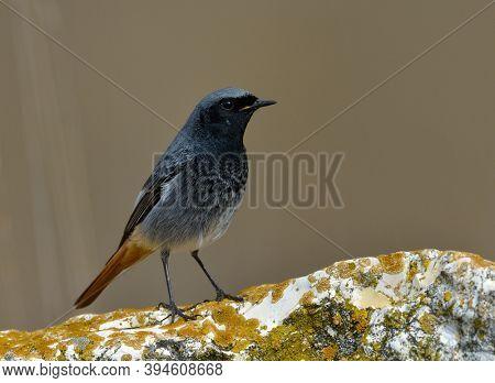 black redstart in natural habitat in spring (phoenicurus ochruros)