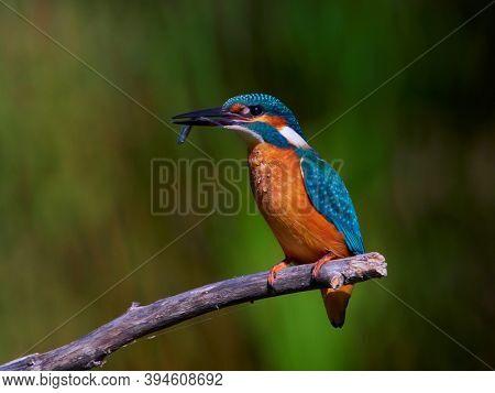 The common kingfisher in natural habitat (alcedo atthis)