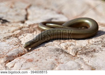 eastern slow-worm in man hand (Anguis colchica)