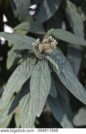 Wrinkled Viburnum Leaves And Flower Buds - Latin Name - Viburnum Rhyridophyllum