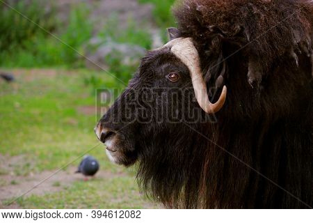 angry musk ox with big horns