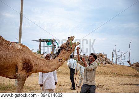 Pushkar, India - November 2020: The Master (owner)of The Camel While Controlling His Camel At Pushka