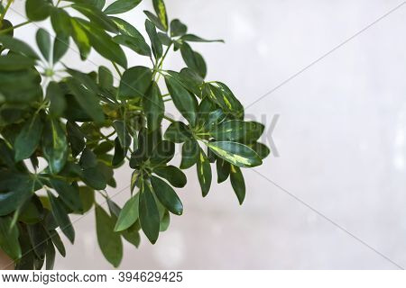 Pot With A Home Plant On The Background Of An Untreated Wall. Home Or Room Decorations.