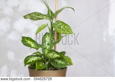 Home Or Room Decorations. Dieffenbachia Or Dumbcane In The Pot.