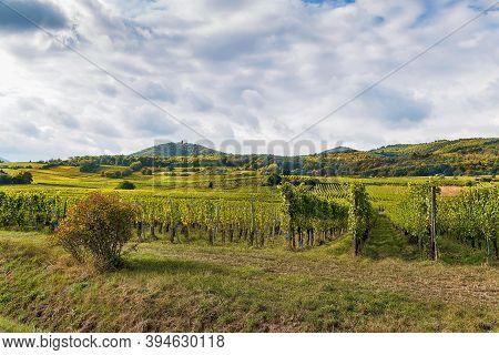Vineyard In Alsace Near Ribeauville, France. Autumn