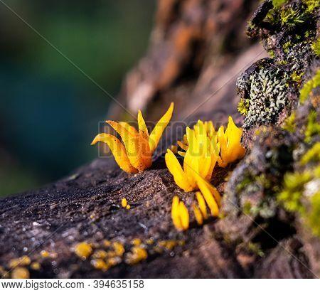 Calocera Cornea Latin Calocera Cornea Is A Species Of Basidiomycota Fungi Basidiomycota Of The Dacry