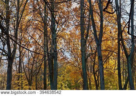 Autumn Trees With Thick Yellow Foliage Close-up For Abstract Natural Background