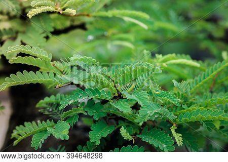 Water Drops On Tamarind Leaves. Water Drops. Tamarind Tree.