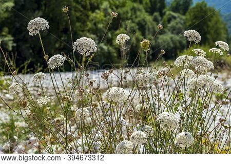 Ammi Majus Flowering Plant On The Riverbank,commonly Known As Bishop's Weed Or Laceflower A Member O