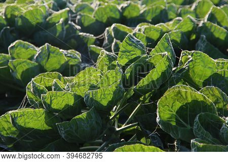 Green Plants With Brussels Sprouts In The Morning Sun On Farmland In The Netherlands