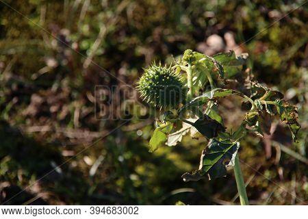 Jimson Weed Or Datura Stramonium In Green Color In The Dunes Of The Amsterdamse Waterleidingduinen N