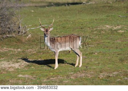Fallow Deer In The Wild In The Amsterdamse Waterleidingduinen Nature Reserve During Colorful Autumn