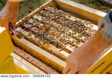 Beekeeper Pushes Frame Of Chisel. Man Supervises Production Of Honey In Bee. Visible Wooden Bee Fram