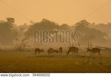 Spotted Deer Or Chital Or Cheetal Or Axis Axis Herd In Golden Hour Sunset Light In Beautiful Landsca