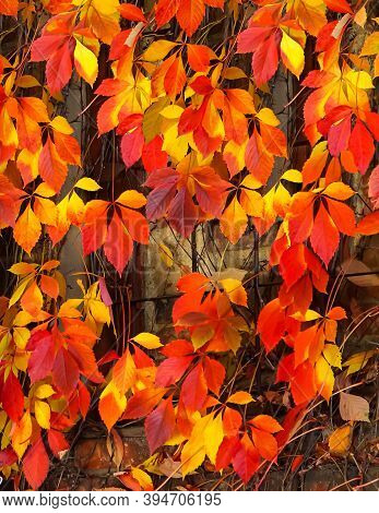 Autumn Wild Grapes With Red Leaves, Growing Along The Walls Stock Photo