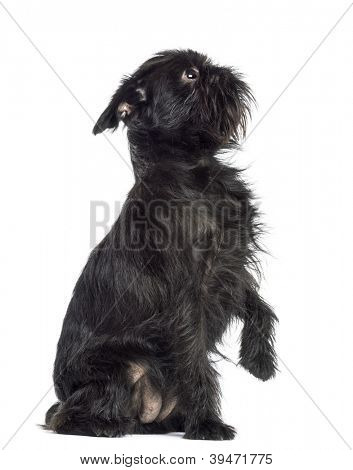 Griffon Bruxellois, 2 years old, sitting with paw up against white background