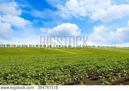 Sunflower on spring field and blue sky