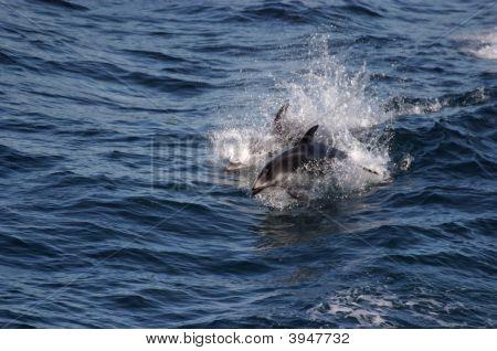 Jumping Porpoise