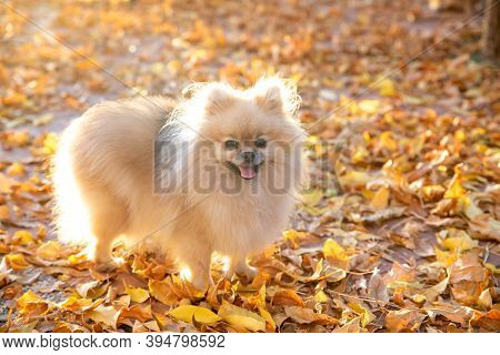 Small Cute Pomeranian Spitz Walks On Yellow Leaves In An Autumn Park. Pomeranian Spitz For A Walk In
