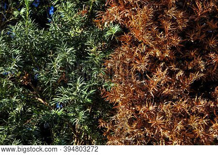 Yellow Dry Pine Tree Needles. Disease Of Conifers. Healthy And Sick Tree