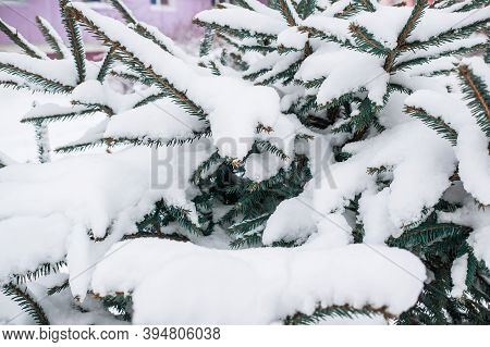 Snow-covered Christmas Tree Branch In Winter. Christmas Tree In The Snow. First Snow. Natural Backgr