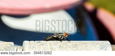 Flesh Fly Resting