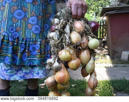 Harvested Garlic And Onion Bulbs Tangled In Bunch. Rural Old Woman Holding Onions In Her Wrinkled Ha