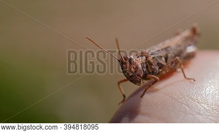 An Ordinary Cricket Close-up, A Grasshopper Sitting On His Hand