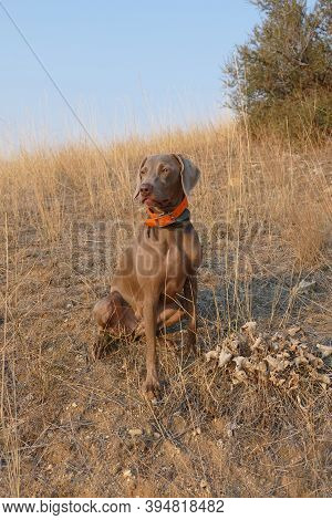 Young Weimaraner Hunting Dog Upland Bird Hunting In Idaho.